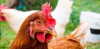 rhode island red chicken names
