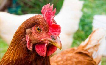 rhode island red chicken names
