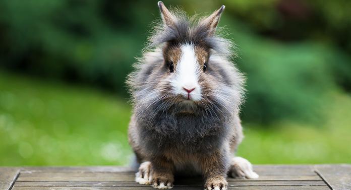 how big do lionhead rabbits get