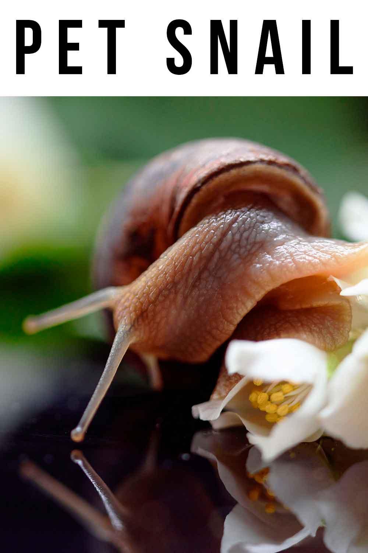pet snail