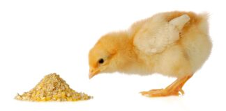 what do baby chicks eat
