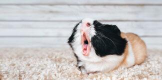guinea pig sneezing