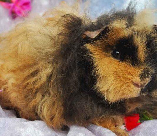 minipli guinea pig