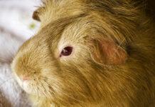 argente guinea pig