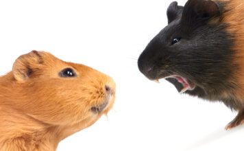 why do my guinea pigs fight