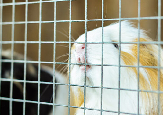 guinea pigs chewing cage bars