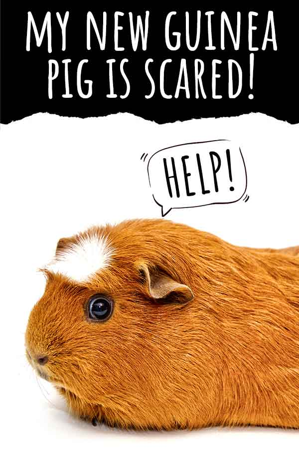 my new guinea pig is scared