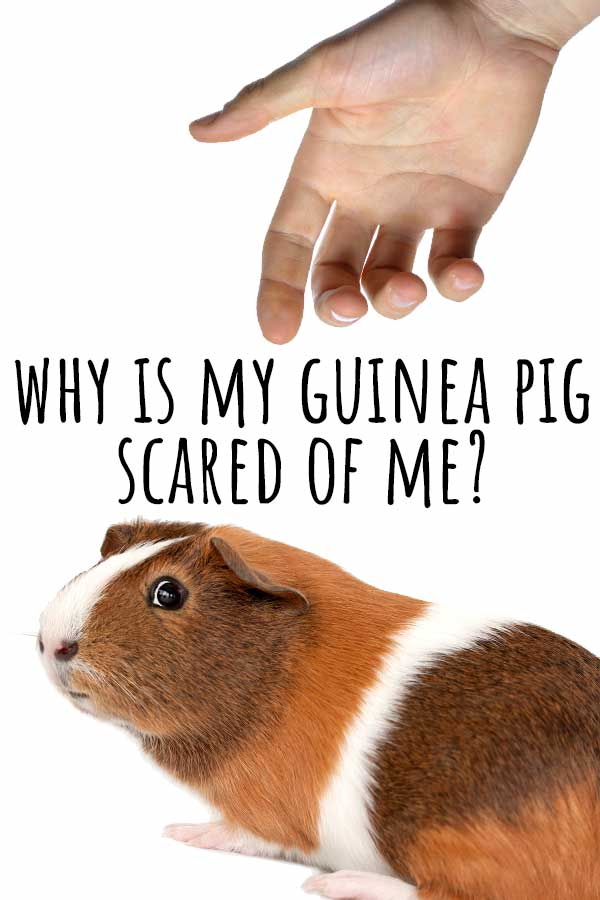 scared guinea pig