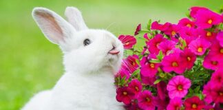 why do rabbits lick you