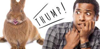 why do rabbits thump