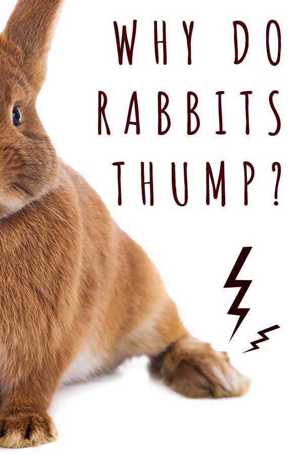 why do rabbits thump