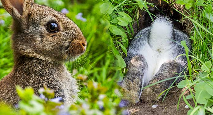 why do rabbits dig holes