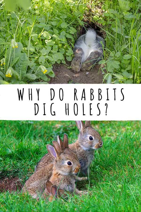 why do rabbits dig holes