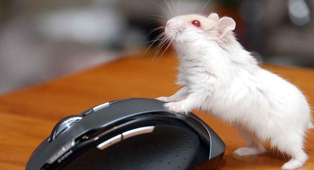 Are Albino Hamsters Good Pets?
