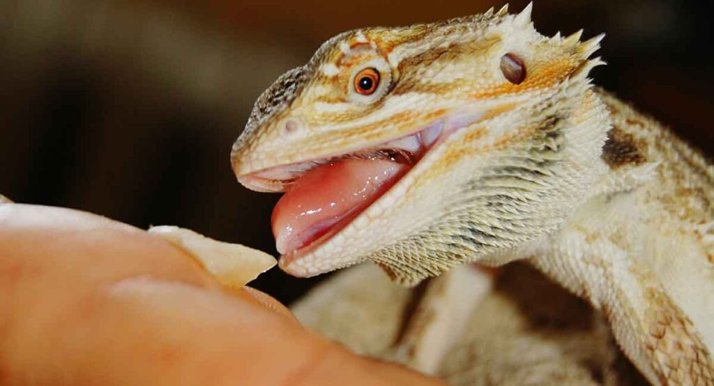 Can Bearded Dragons Eat Snails Every Day?