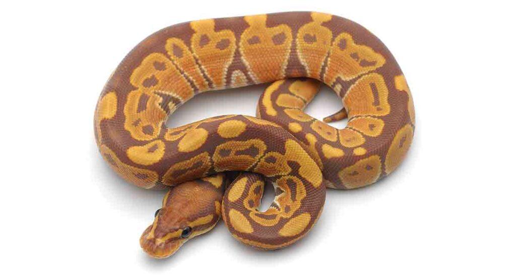 Cute Ball Python Names