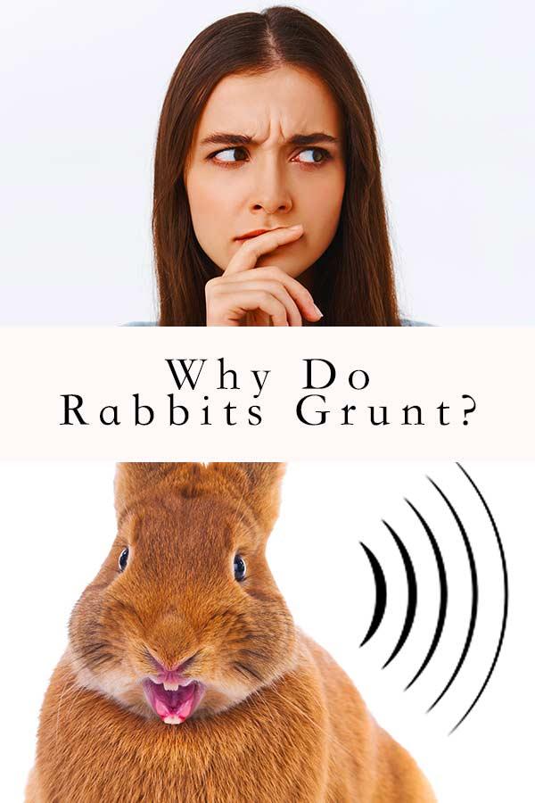 why do rabbits grunt
