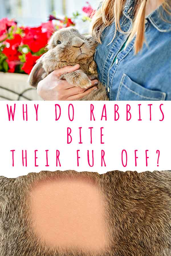 why do rabbits bite their fur off