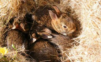 why do rabbits bury their babies