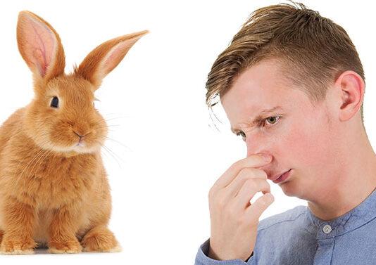 why do rabbits stink