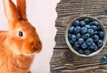 can rabbits eat bluerberries