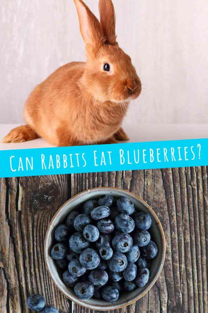 can rabbit eat blueberries?