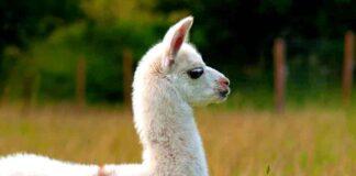 llama names