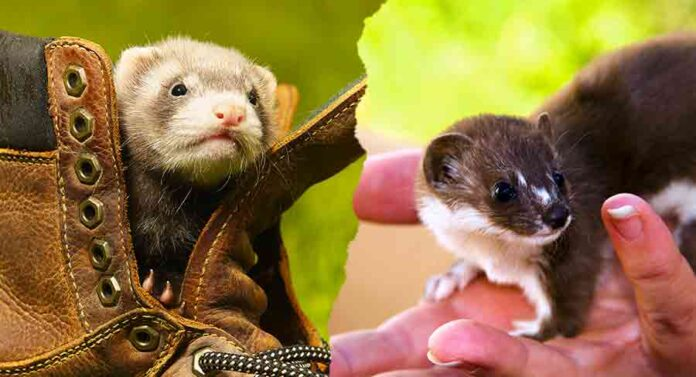 weasel vs ferret