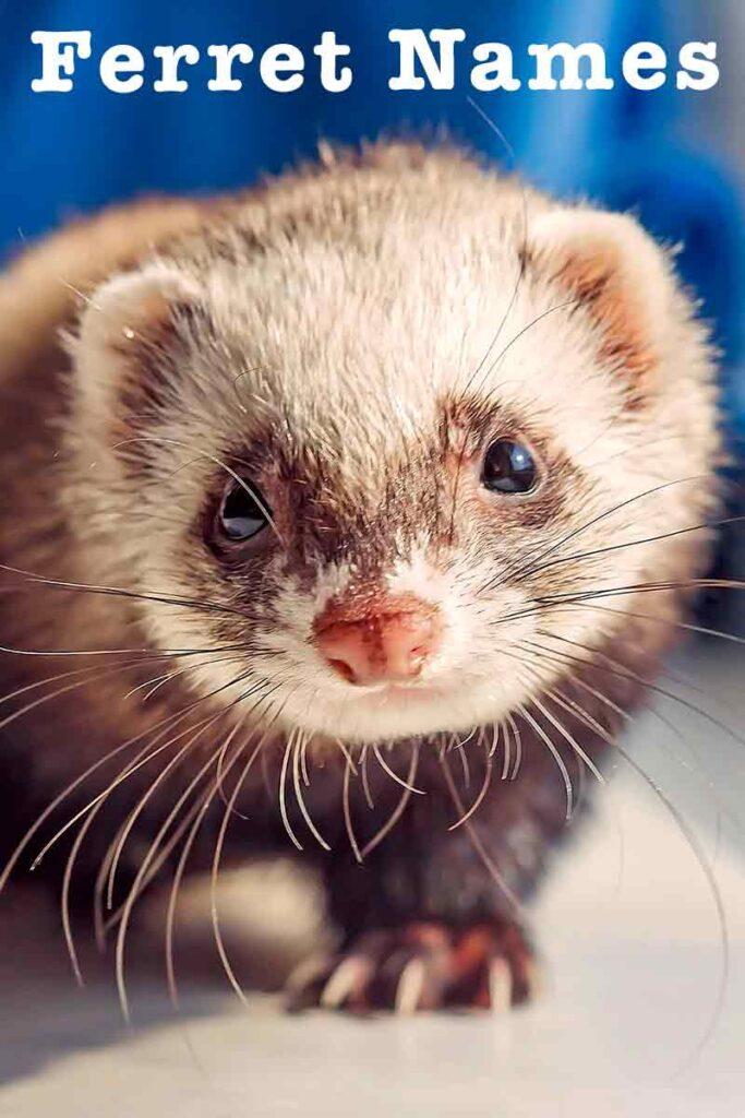 naming your ferret