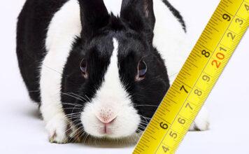 how big do dutch rabbits get