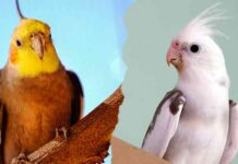 types of cockatiels