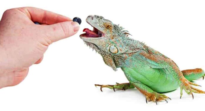 what do lizards eat