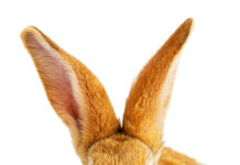 why do rabbits keep turning their ears