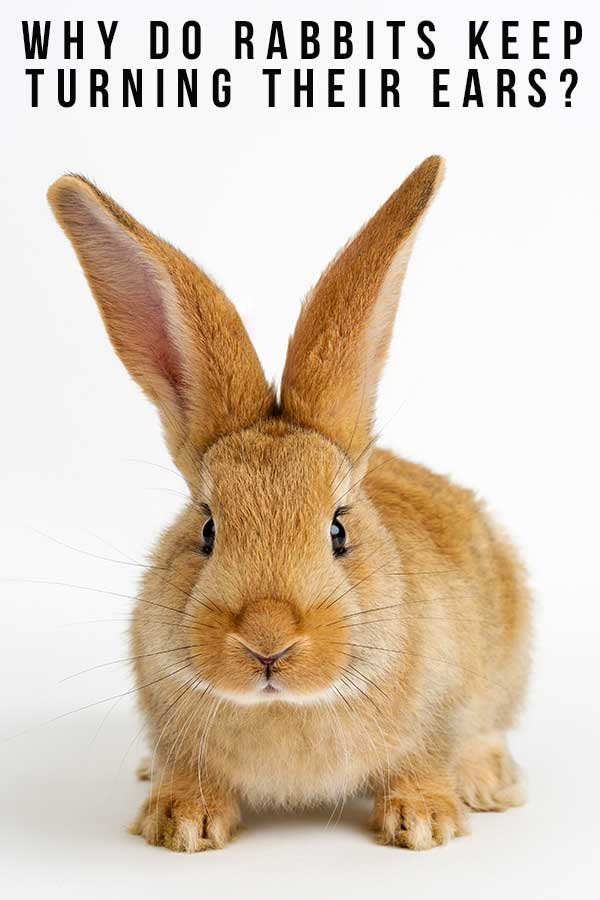 why do rabbits keep turning their ears?