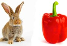 can rabbits eat bell peppers