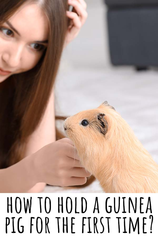 how to hold a guinea pig for the first time