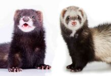 mink vs ferret
