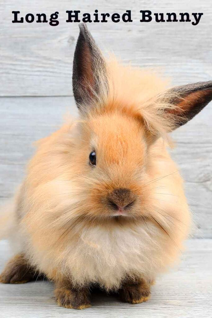 long haired bunny
