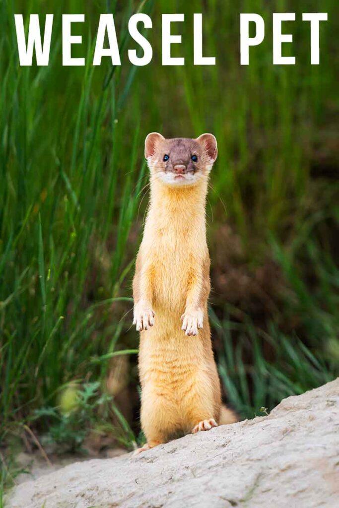 weasel pet