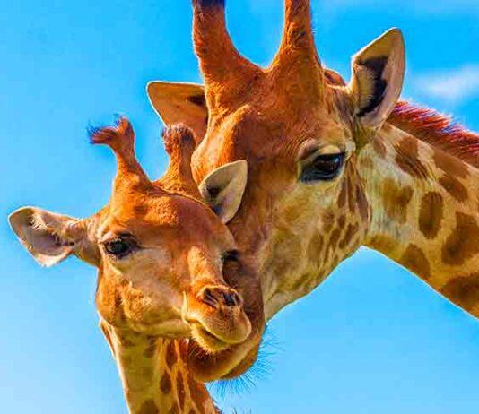 giraffe names