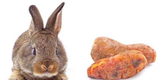 can rabbits eat sweet potato