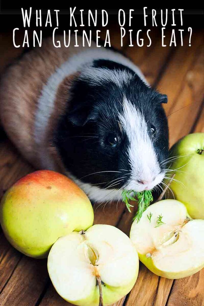 fruits for cavies