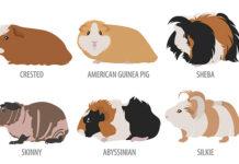 best guinea pig breed