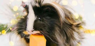 can guinea pigs eat pumpkin