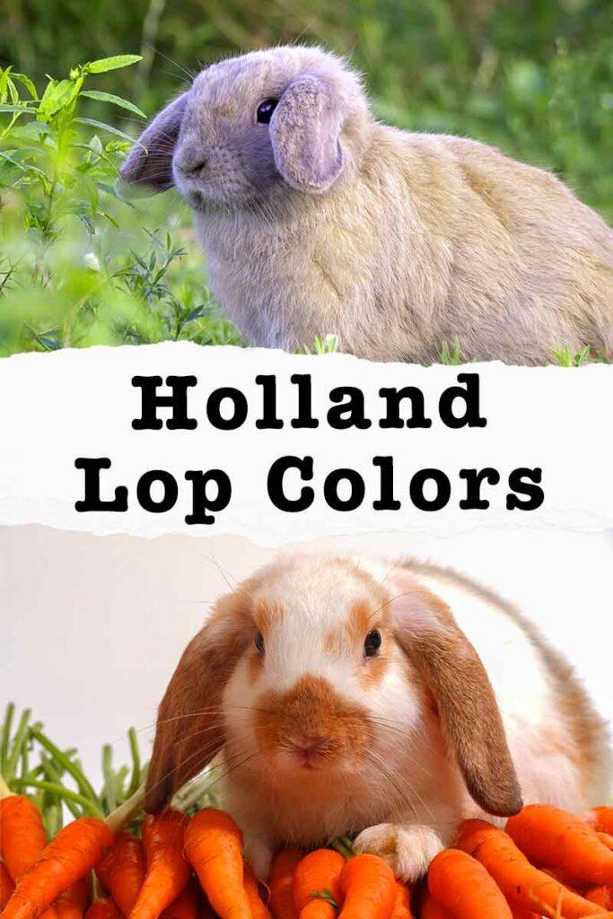 holland lop colors