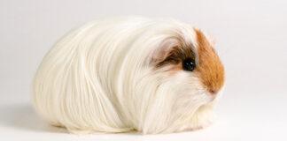 mini yak guinea pig