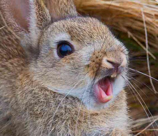 rabbit scream