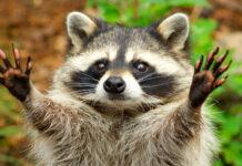 raccoon names