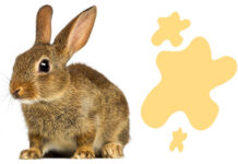 why do rabbits spray urine