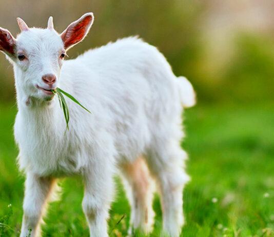 boy goat names